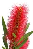 De bloem van Bottlebrush Royalty-vrije Stock Foto's