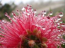 De bloem van Bottlebrush na regen Stock Afbeelding