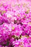 De bloem van bougainvillea Royalty-vrije Stock Foto's