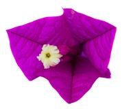De bloem van bougainvillea Royalty-vrije Stock Afbeeldingen