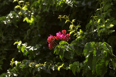 De bloem van bougainvillea Royalty-vrije Stock Foto