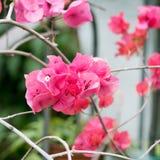 De bloem van bougainvilleaspectabilis Stock Afbeeldingen