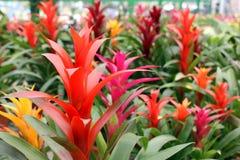 De bloem van bromelia's Royalty-vrije Stock Afbeeldingen