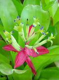 De bloem van bromelia's Stock Foto's