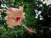De bloem van Bungaraya Stock Afbeelding