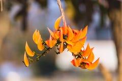 De Bloem van Buteamonosperma Royalty-vrije Stock Foto