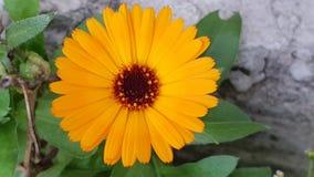 De bloem van Calendula stock fotografie