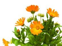 De bloem van Calendula op een witte achtergrond Stock Afbeelding