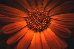 De Bloem van Calendulaofficinalis Stock Foto's