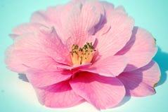 De bloem van Camillia stock afbeelding