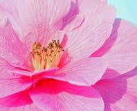 De bloem van Camillia stock afbeeldingen