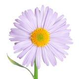 De bloem van Camomiles die op wit wordt geïsoleerde Stock Foto