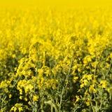 De bloem van Canola Stock Foto