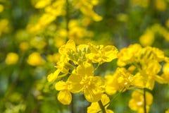 De bloem van Canola Royalty-vrije Stock Afbeeldingen