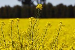 De bloem van Canola Royalty-vrije Stock Fotografie