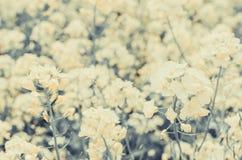 De bloem van Canola Royalty-vrije Stock Foto