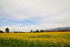 De bloem van Canola Stock Afbeelding