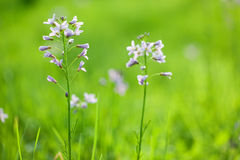 De bloem van Cardamine Royalty-vrije Stock Foto's