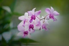 De bloem van de Cattleyaorchidee royalty-vrije stock afbeeldingen