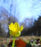 De Bloem van Celandine Stock Afbeeldingen