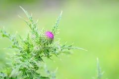 De bloem van de Cirsium arvense distel royalty-vrije stock afbeeldingen