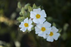 De bloem van Cistusmonspeliensis Royalty-vrije Stock Afbeeldingen