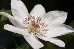 De bloem van clematissen Royalty-vrije Stock Afbeeldingen