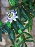 De bloem van clematissen   Royalty-vrije Stock Foto