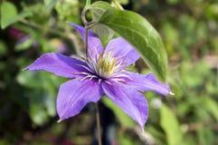 De bloem van clematissenvivicella in bloei royalty-vrije stock fotografie
