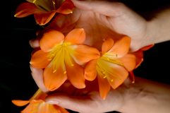 De bloem van Clivia Royalty-vrije Stock Fotografie