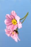 De bloem van Cosmea Royalty-vrije Stock Fotografie