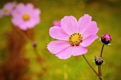 De bloem van Cosmea stock afbeeldingen