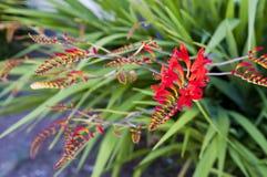De bloem van Crocosmia Stock Afbeeldingen