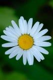 De bloem van Daisey van het osseoog van hierboven stock foto's