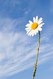 De bloem van Daisy Stock Afbeeldingen