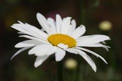 De bloem van Daisy royalty-vrije stock foto's