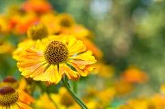 De bloem van Daisy Stock Afbeelding