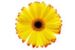 De bloem van Daisy Stock Foto