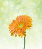 De bloem van Daisy Royalty-vrije Stock Afbeeldingen