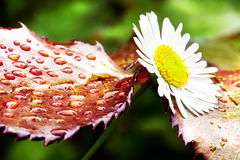 De bloem van Daisy Royalty-vrije Stock Afbeelding
