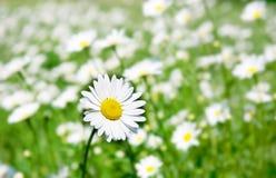 De bloem van Daisy Royalty-vrije Stock Foto