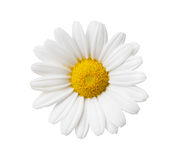 De bloem van Daisy die met hand wordt geïsoleerdp - gemaakte het knippen weg Stock Afbeelding