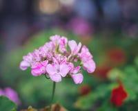 De bloem van de dame` s Raket stock foto