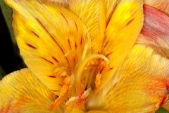 De bloem van Daylily Stock Fotografie