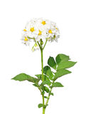 De bloem van de aardappel stock afbeeldingen
