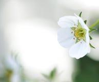 De bloem van de aardbei Stock Foto's