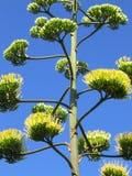 De bloem van de agave Royalty-vrije Stock Foto