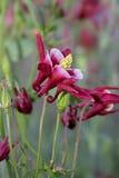 De bloem van de akelei stock afbeeldingen