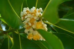 De bloem van de Alexandrianlaurier Royalty-vrije Stock Foto