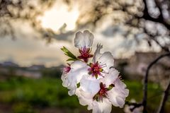De bloem van de amandelboom Royalty-vrije Stock Foto